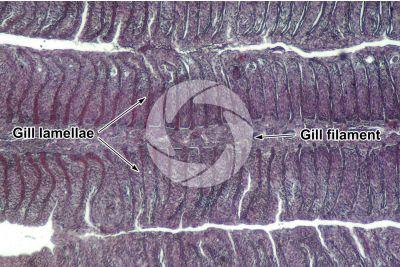 Cyprinus sp. Gill slit. Longitudinal section. 100X
