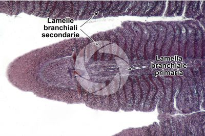Cyprinus sp. Lamella branchiale. Sezione longitudinale. 100X