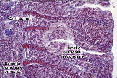 Cyprinus sp. Lamella branchiale. Sezione longitudinale. 500X