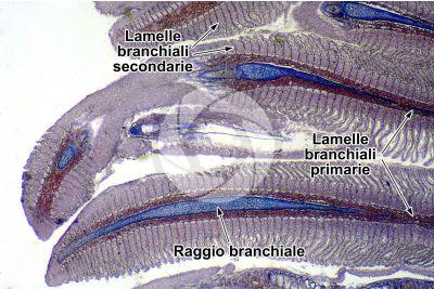 Salmo trutta. Trota. Lamella branchiale. Sezione longitudinale. 32X