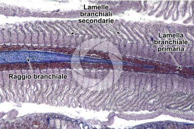 Salmo trutta. Trota. Lamella branchiale. Sezione longitudinale. 64X