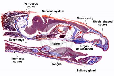 Lacerta sp. Lizard. Head. Longitudinal section. 1X