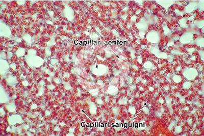 Gallus gallus domesticus. Pollo. Polmone parabronchiale. Sezione trasversale. 250X