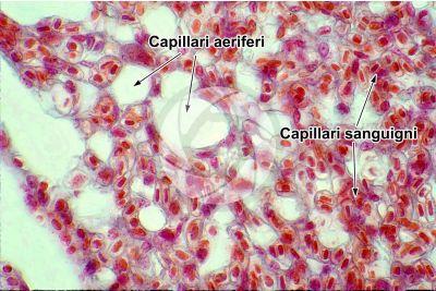 Gallus gallus domesticus. Pollo. Polmone parabronchiale. Sezione trasversale. 1000X