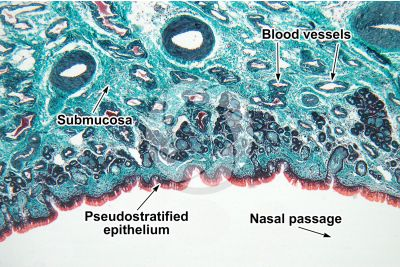 Man. Nasal mucous membrane. Vertical section. 64X