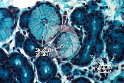 Man. Nasal mucous membrane. Transverse section. 500X