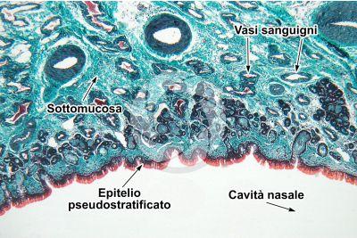 Uomo. Mucosa nasale. Sezione verticale. 64X