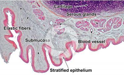 Dog. Larynx. Vertical section. 64X