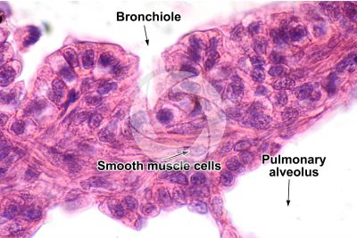 Rat. Lung. Transverse section. 1000X