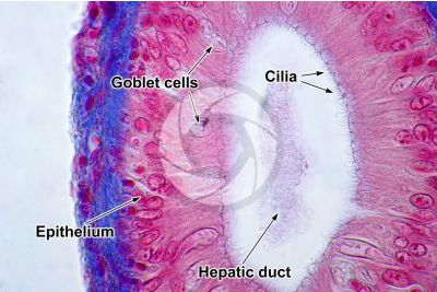 Cyprinus sp. Liver. Transverse section. 1000X