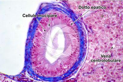 Cyprinus sp. Fegato. Sezione trasversale. 500X