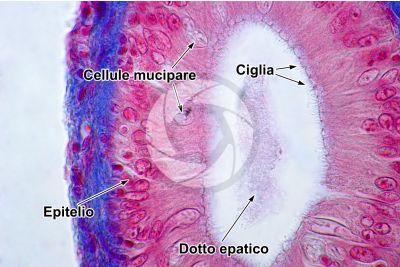 Cyprinus sp. Fegato. Sezione trasversale. 1000X