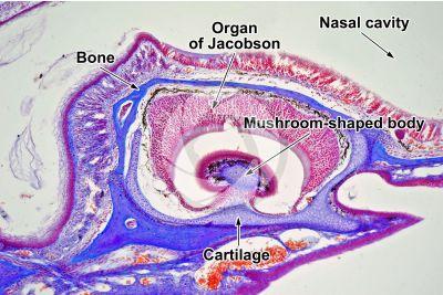 Lacerta sp. Lizard. Organ of Jacobson. Longitudinal section. 125X