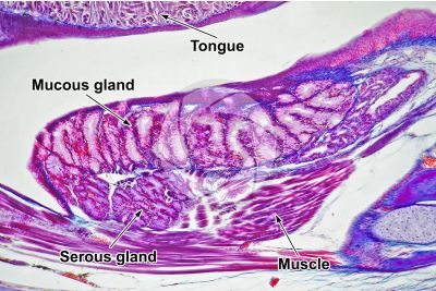 Lacerta sp. Lizard. Salivary gland. Longitudinal section. 125X