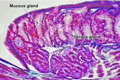 Lacerta sp. Lizard. Salivary gland. Longitudinal section. 250X