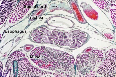 Lacerta sp. Lizard. Esophagus. Transverse section. 64X