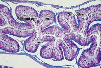 Lacerta sp. Lizard. Esophagus. Transverse section. 250X