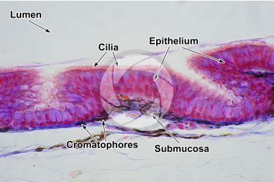 Lacerta sp. Lizard. Esophagus. Longitudinal section. 500X