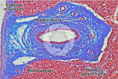 Lacerta sp. Lizard. Liver. Transverse section. 250X