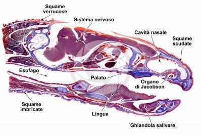 Lacerta sp. Lucertola. Testa. Sezione longitudinale. 1X