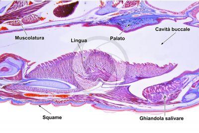 Lacerta sp. Lucertola. Lingua. Sezione longitudinale. 50X