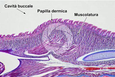 Lacerta sp. Lucertola. Lingua. Sezione longitudinale. 64X
