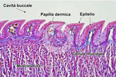Lacerta sp. Lucertola. Lingua. Sezione longitudinale. 250X