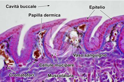 Lacerta sp. Lucertola. Lingua. Sezione longitudinale. 500X