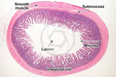 Dog. Small intestine. Transverse section. 7X