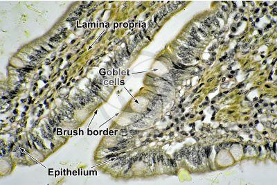 Dog. Small intestine. Transverse section. 400X