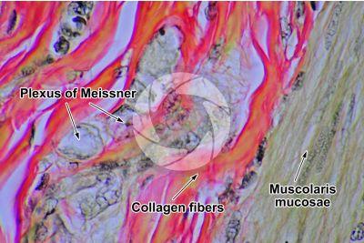 Dog. Small intestine. Transverse section. 500X