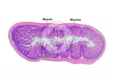 Rat. Small intestine. Transverse section. 7X