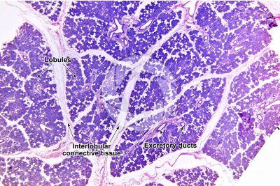 Man. Salivary gland. Transverse section. 10X