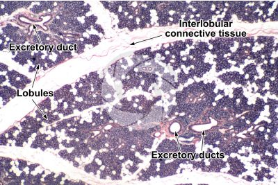 Man. Salivary gland. Transverse section. 32X