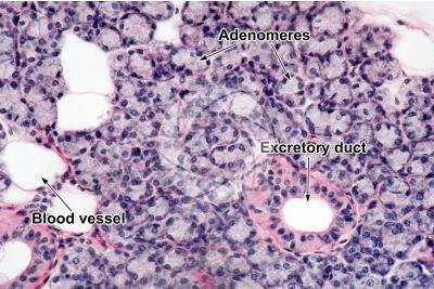 Man. Salivary gland. Transverse section. 250X