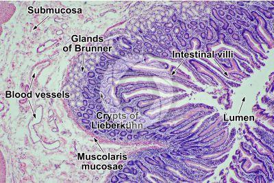 Man. Small intestine. Transverse section. 64X