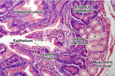 Man. Small intestine. Transverse section. 125X