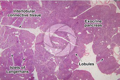 Man. Pancreas. Transverse section. 15X