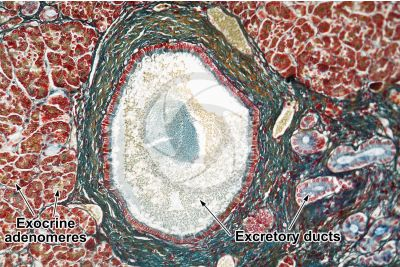 Man. Pancreas. Transverse section. 125X