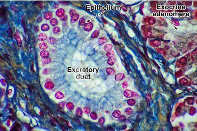 Man. Pancreas. Transverse section. 1000X
