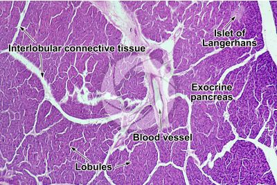 Man. Pancreas. Transverse section. 64X