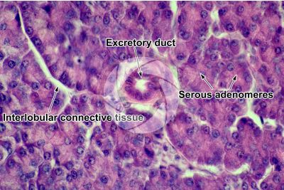 Man. Pancreas. Transverse section. 500X