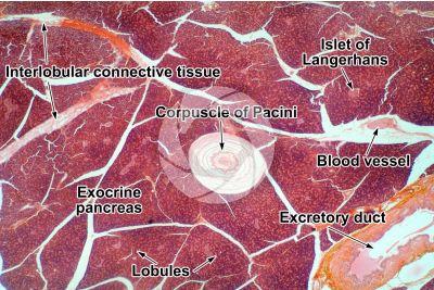 Man. Pancreas. Corpuscle of Pacini. Transverse section. 32X