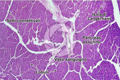 Uomo. Pancreas. Sezione trasversale. 64X