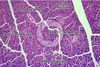 Uomo. Pancreas. Sezione trasversale. 125X
