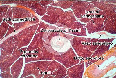Uomo. Pancreas. Corpuscolo di Pacini. Sezione trasversale. 32X