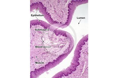Mammal. Esophagus. Transverse section. 32X