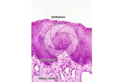 Mammal. Esophagus. Transverse section. 100X