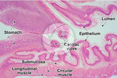 Mammal. Esophagus. Longitudinal section. 32X