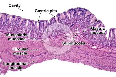 Mammal. Stomach. Transverse section. 64X